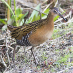 King Rail - Photo credit: Dave Wendelken