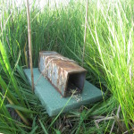 A Sherman trap used to capture Meadow Voles. The Styrofoam platform allowed the trap to rise and fall with the tides. Some bait is visible at the entrance to the trap. Photo credit – Becky Kern