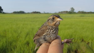 A Saltmarsh Sparrow with heavily worn feathers and a broken tail at the end of the breeding season (August) in Connecticut. Photo by A. Borowske