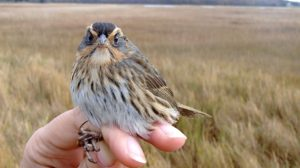 A Saltmarsh Sparrow with freshly molted feathers in October at Barn Island in Connecticut. Photo by A. Borowske